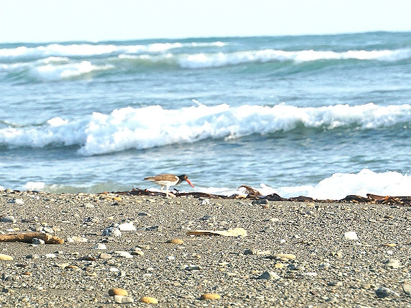 American oystercatcher Corcovado