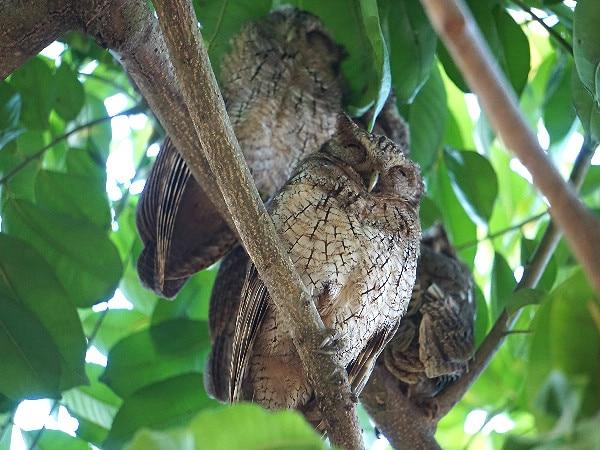 Tropical screech owl Corcovado