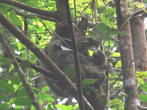 Corcovado National Park sloths