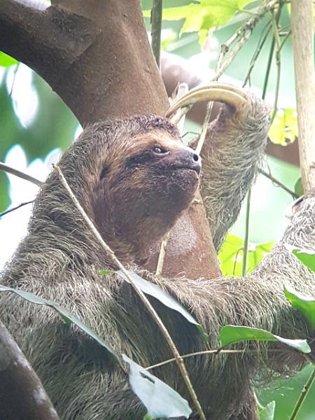 Three-toed sloth Corcovado