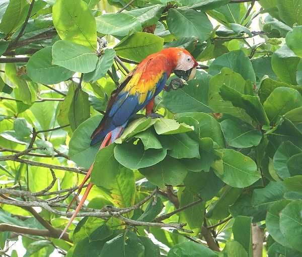 Carate scarlet macaws