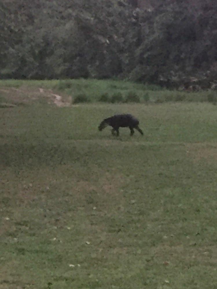Sirena Station Baird's tapir