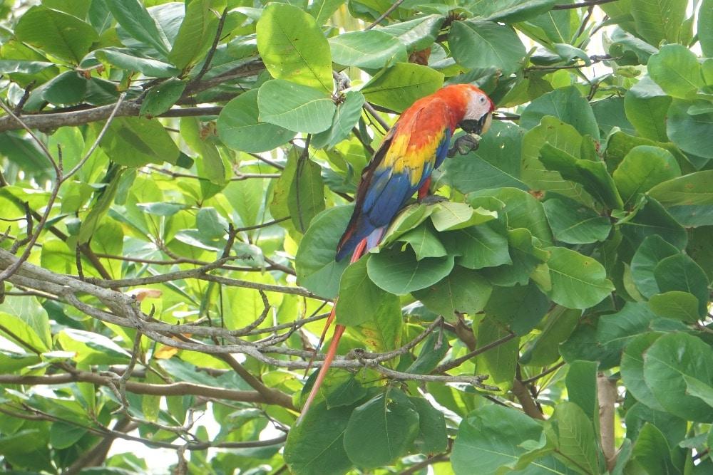 Corcovado scarlet macaw