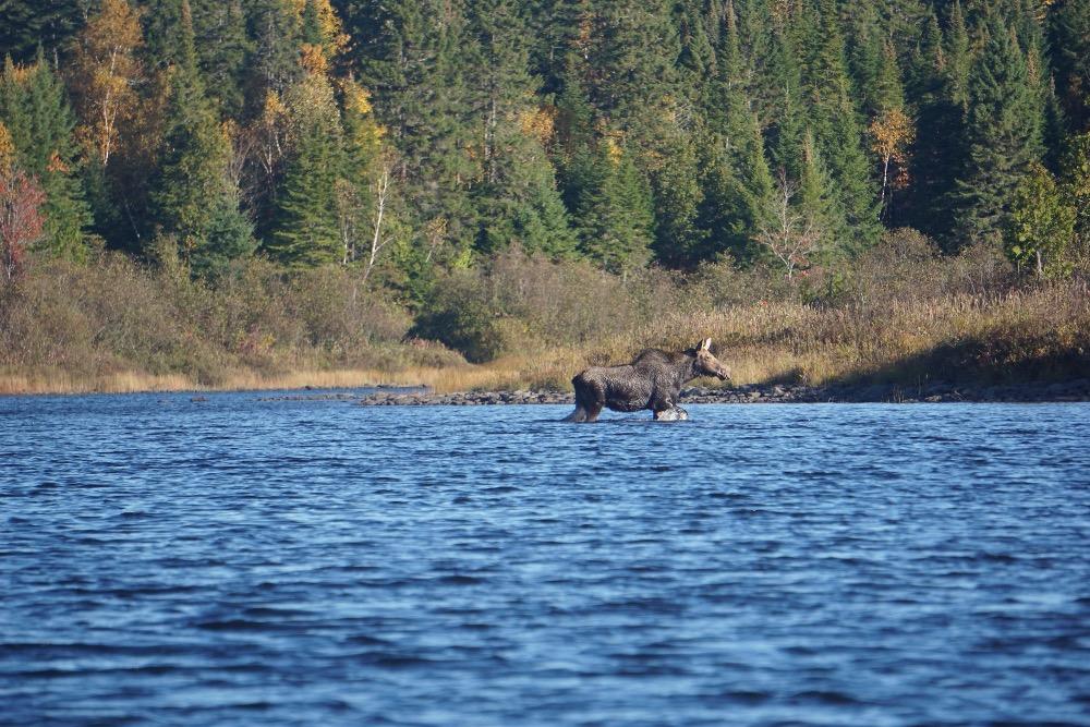 Moose madness Maine