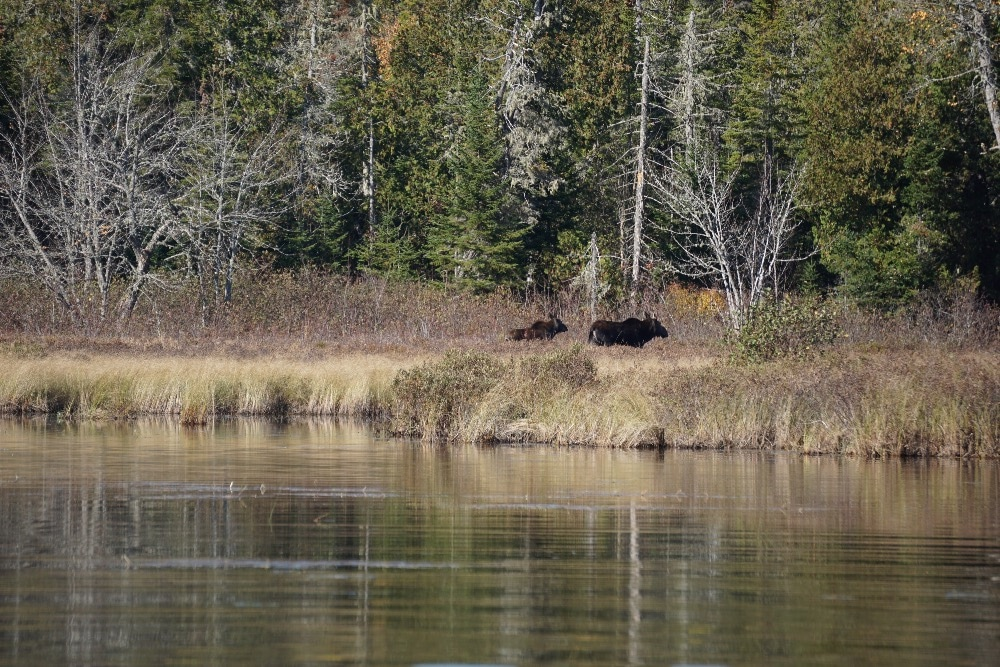 Moose cow calf Allagash River