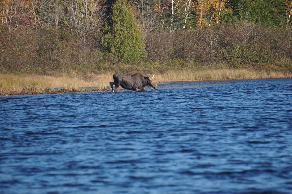 Cow moose crossing river