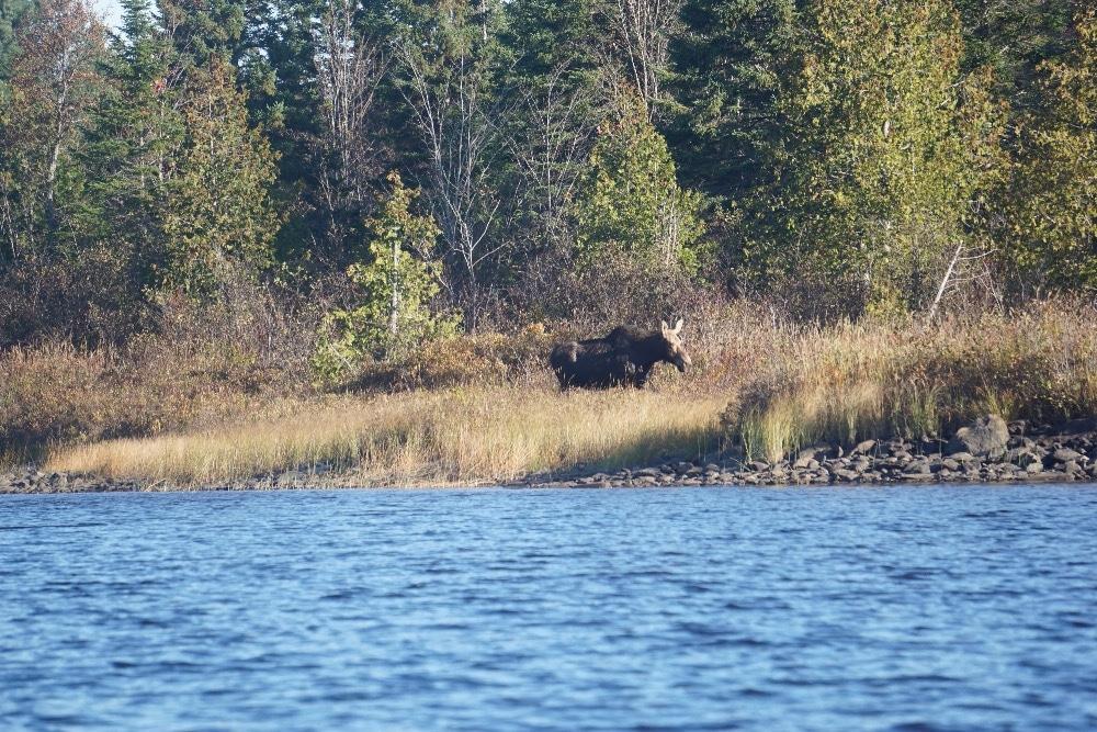 Moose crossing Allagash