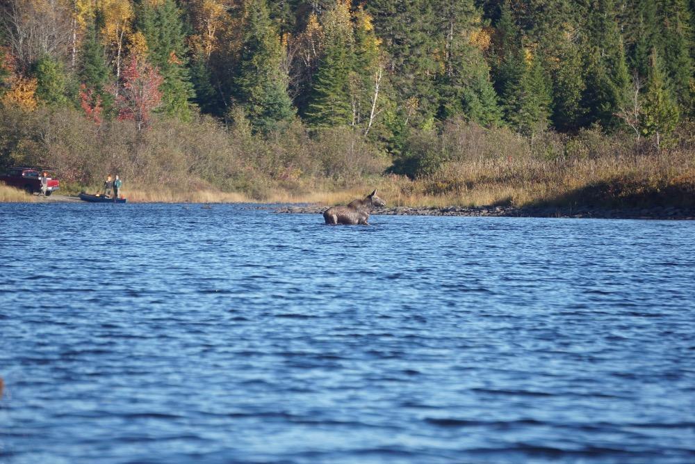 Allagash River moose