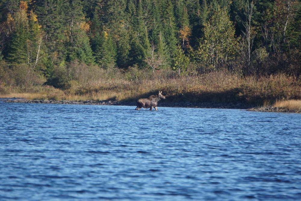 Moose calf Maine