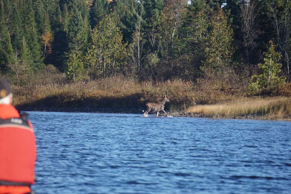 Moose calf Allagash River