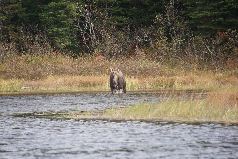 Moose feeding Allagash River