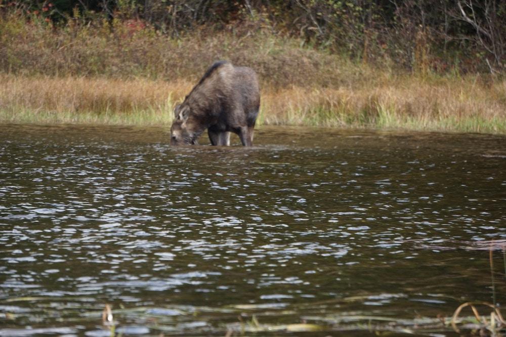 Moose feeding Maine