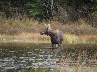 Maine moose Allagash River