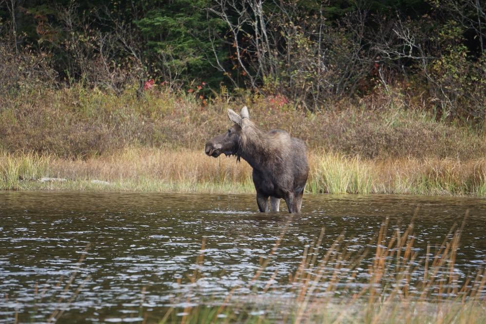 Maine moose Allagash River