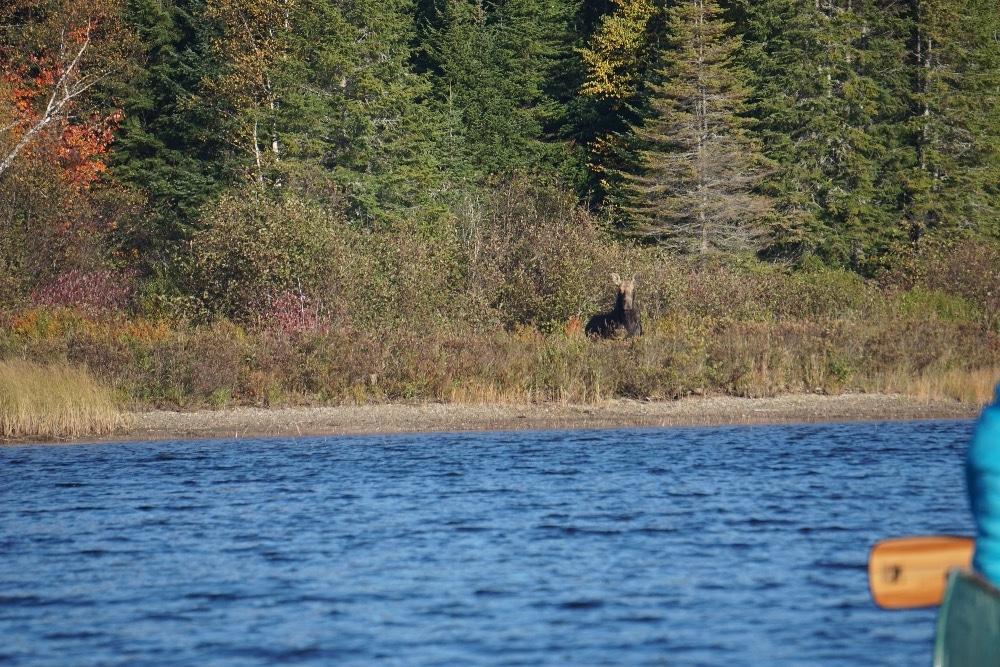 Cow moose Allagash River