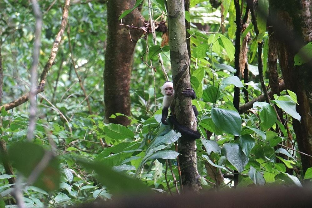 Osa Peninsula white-faced capuchin