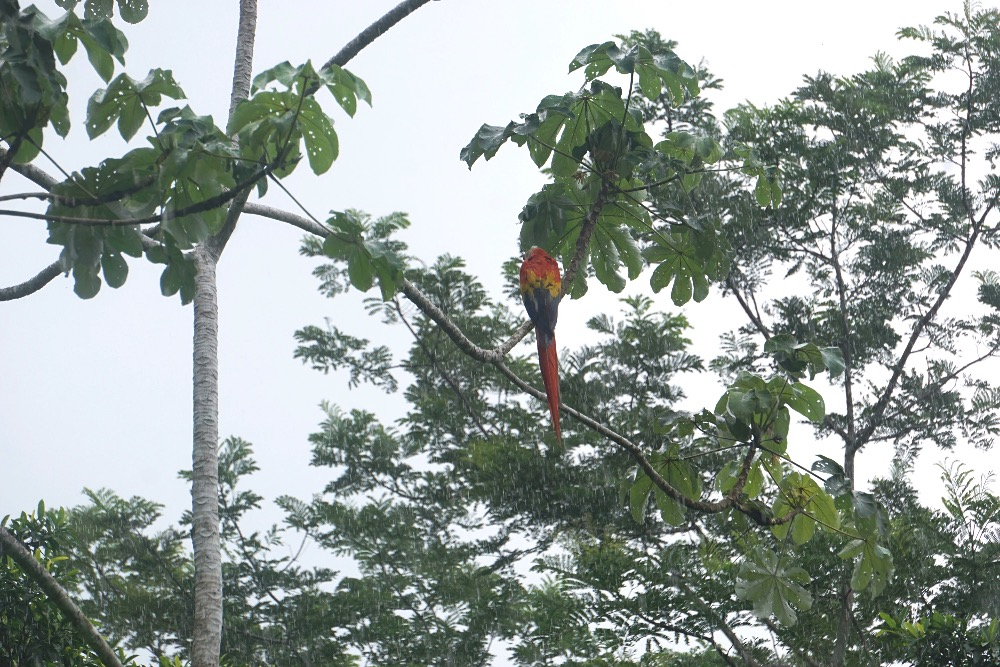 Scarlet macaw Bolita Hostel