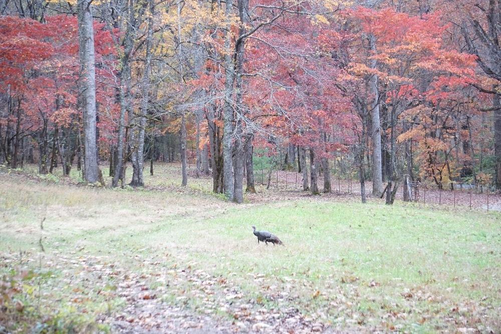 Turkey fall Smoky Mountains