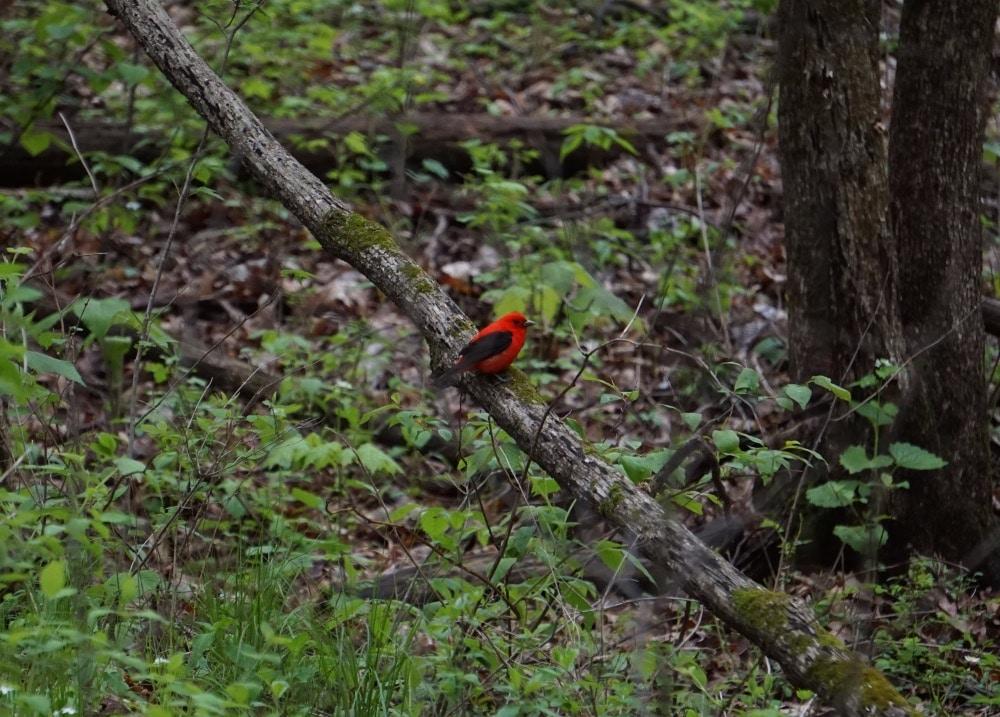 Scarlet tanager Kettle Moraine