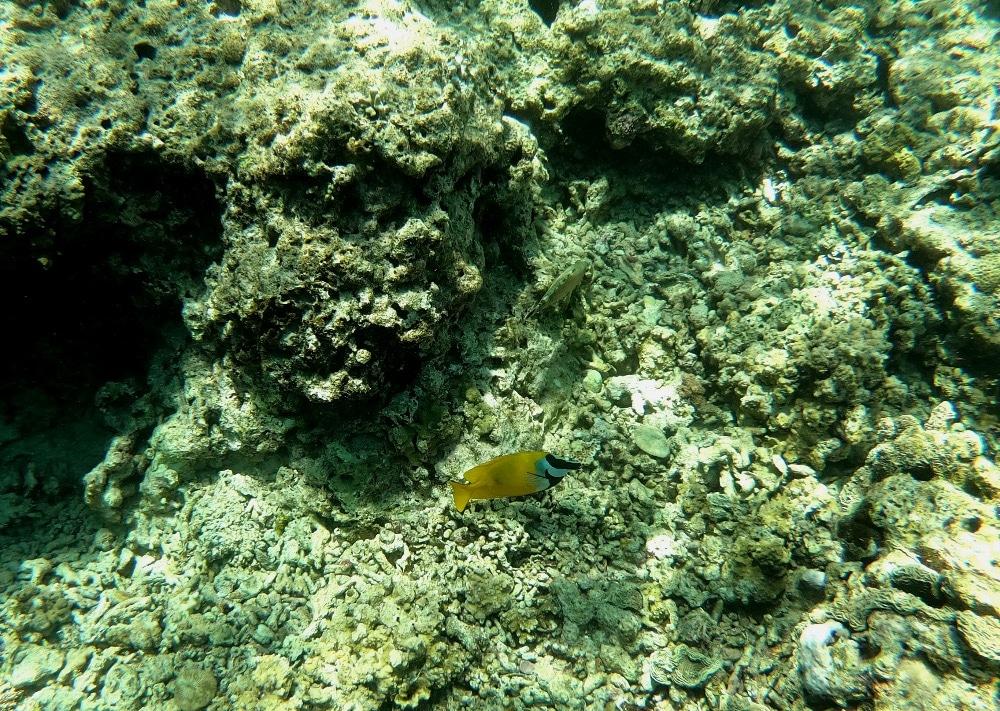 Aquatic fish Indonesia