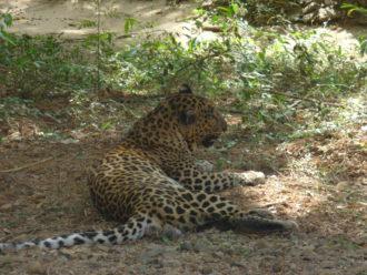 Leopard Sanjay Gandhi