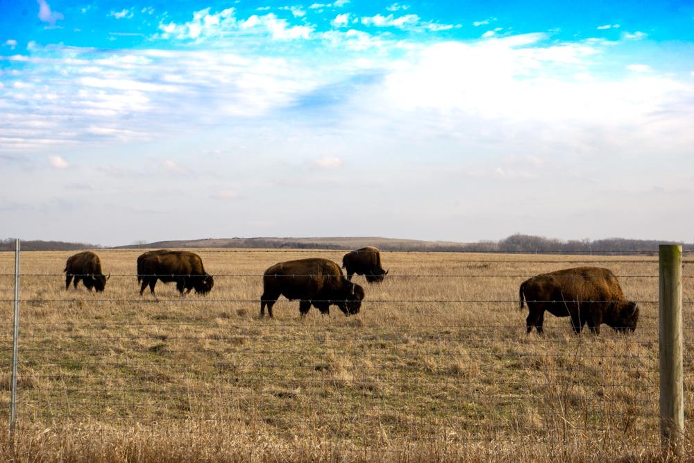 Midewin bison herd