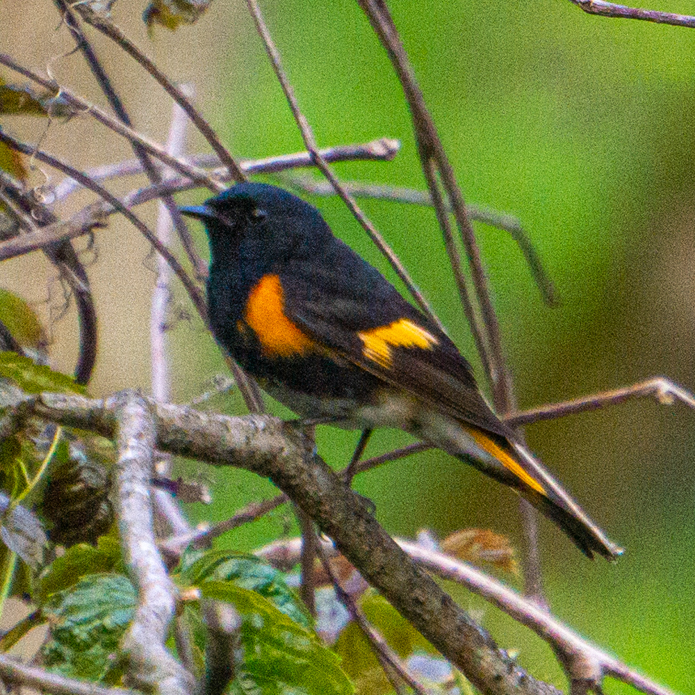 spring warblers American Redstart