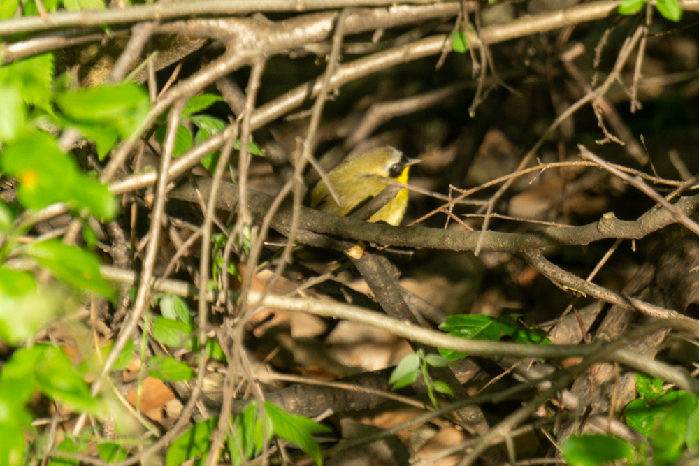 spring warblers Common yellowthroat