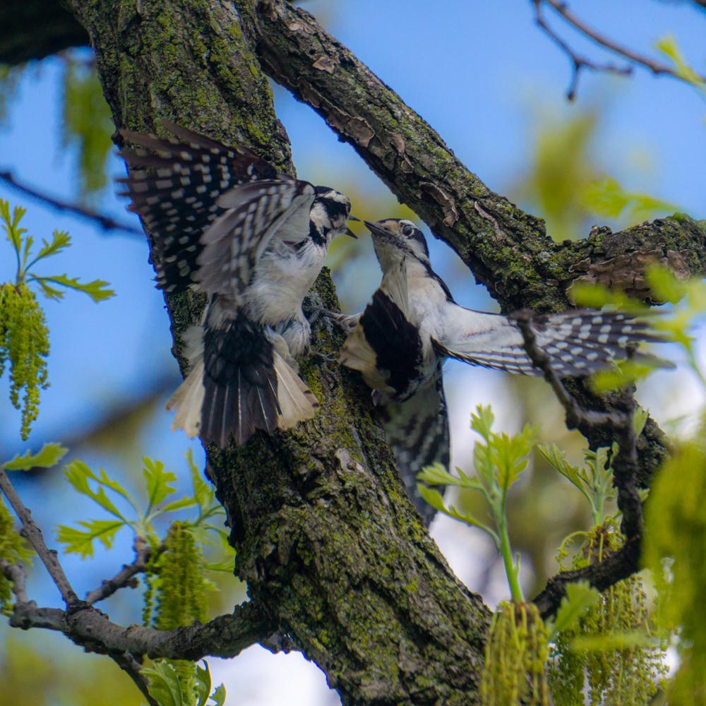 downy woodpeckers