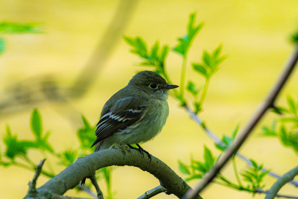 spring warblers female yellow warbler