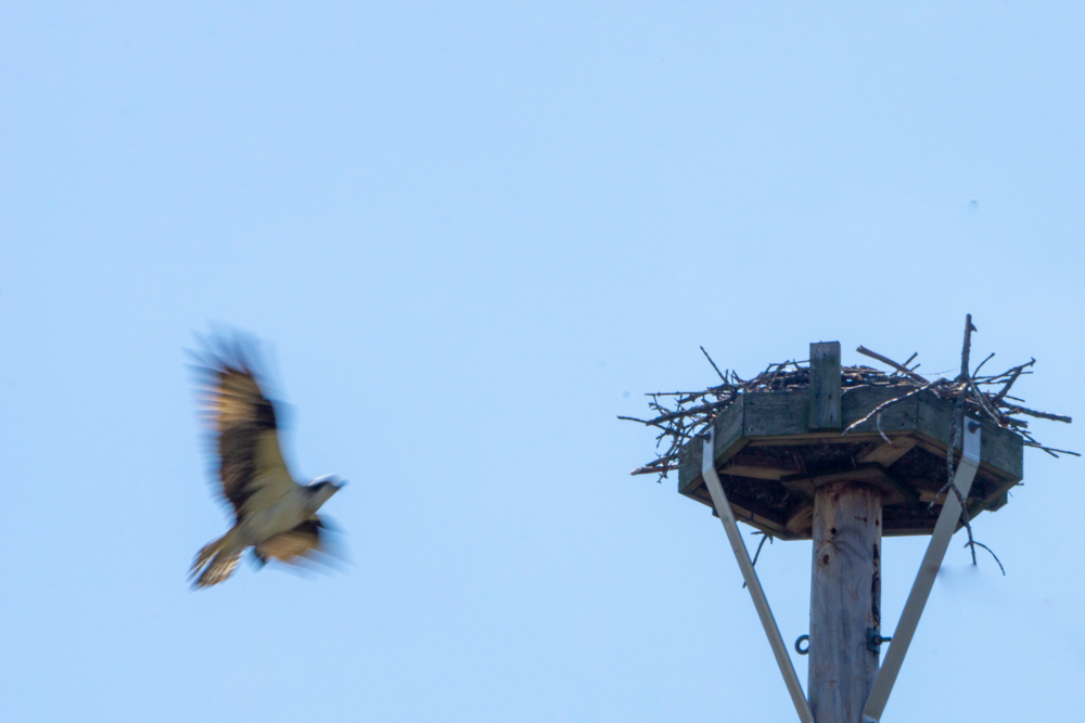 Bakers Lake osprey