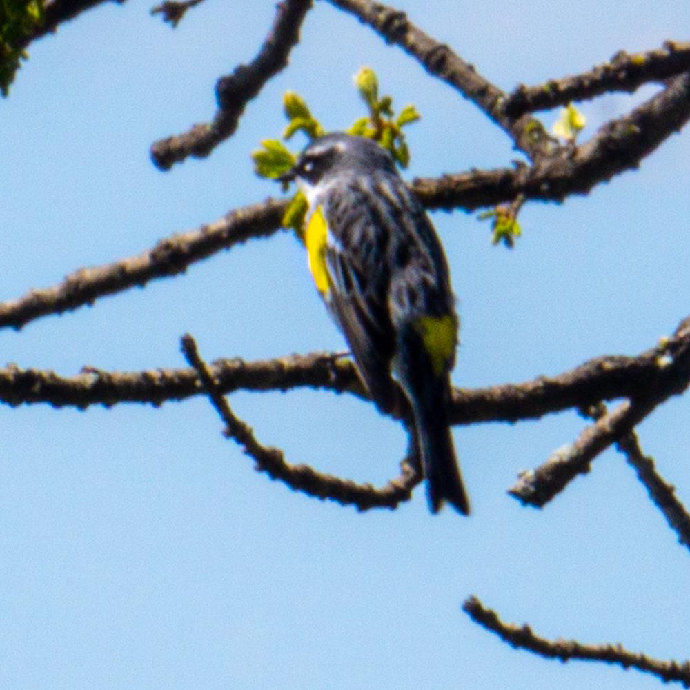 Bakers Lake warblers