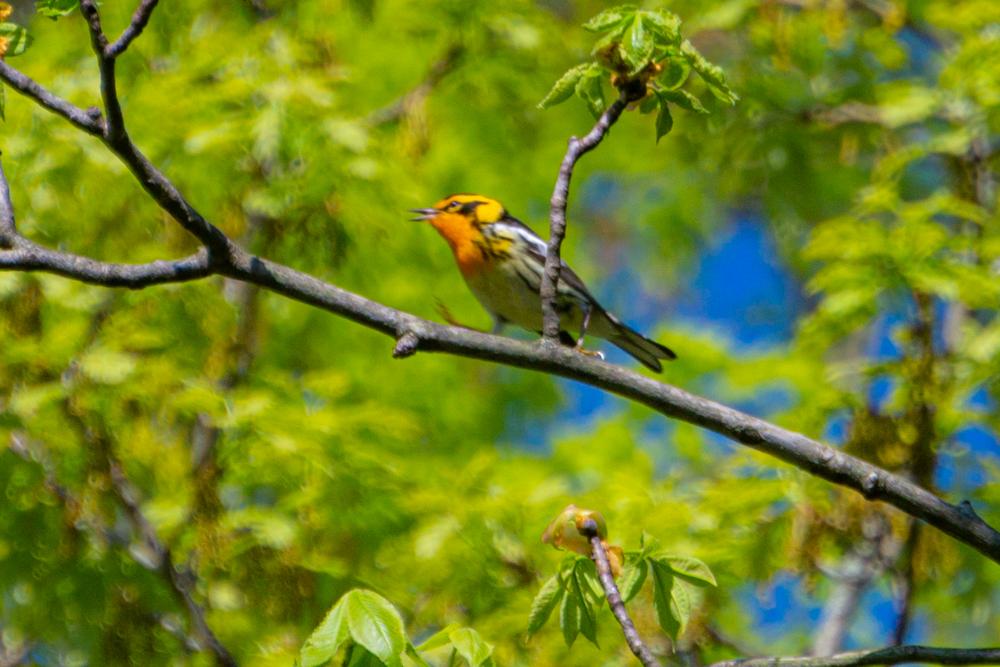 singing blackburnian warbler