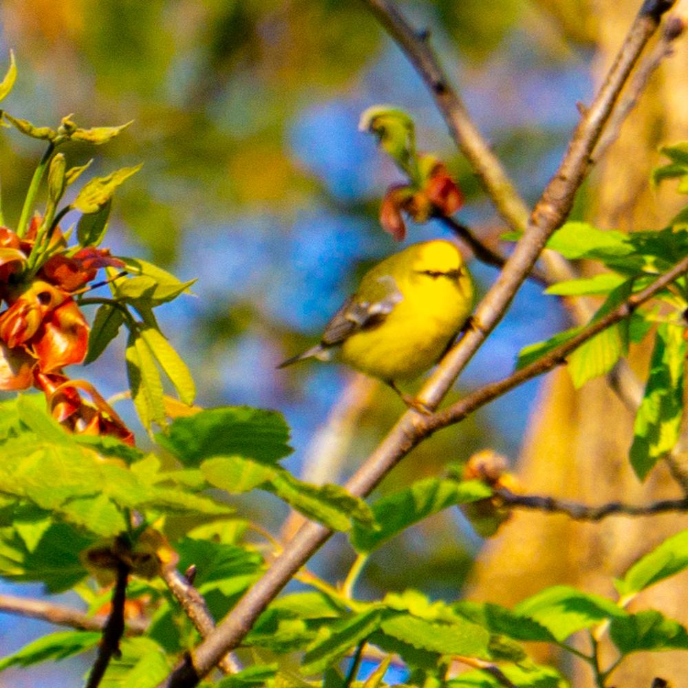 Ryerson Woods warbler