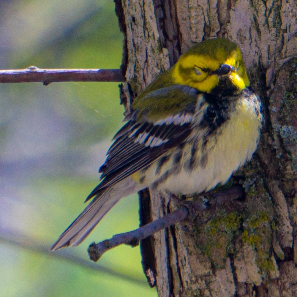 Black-throated green warbler Chicago