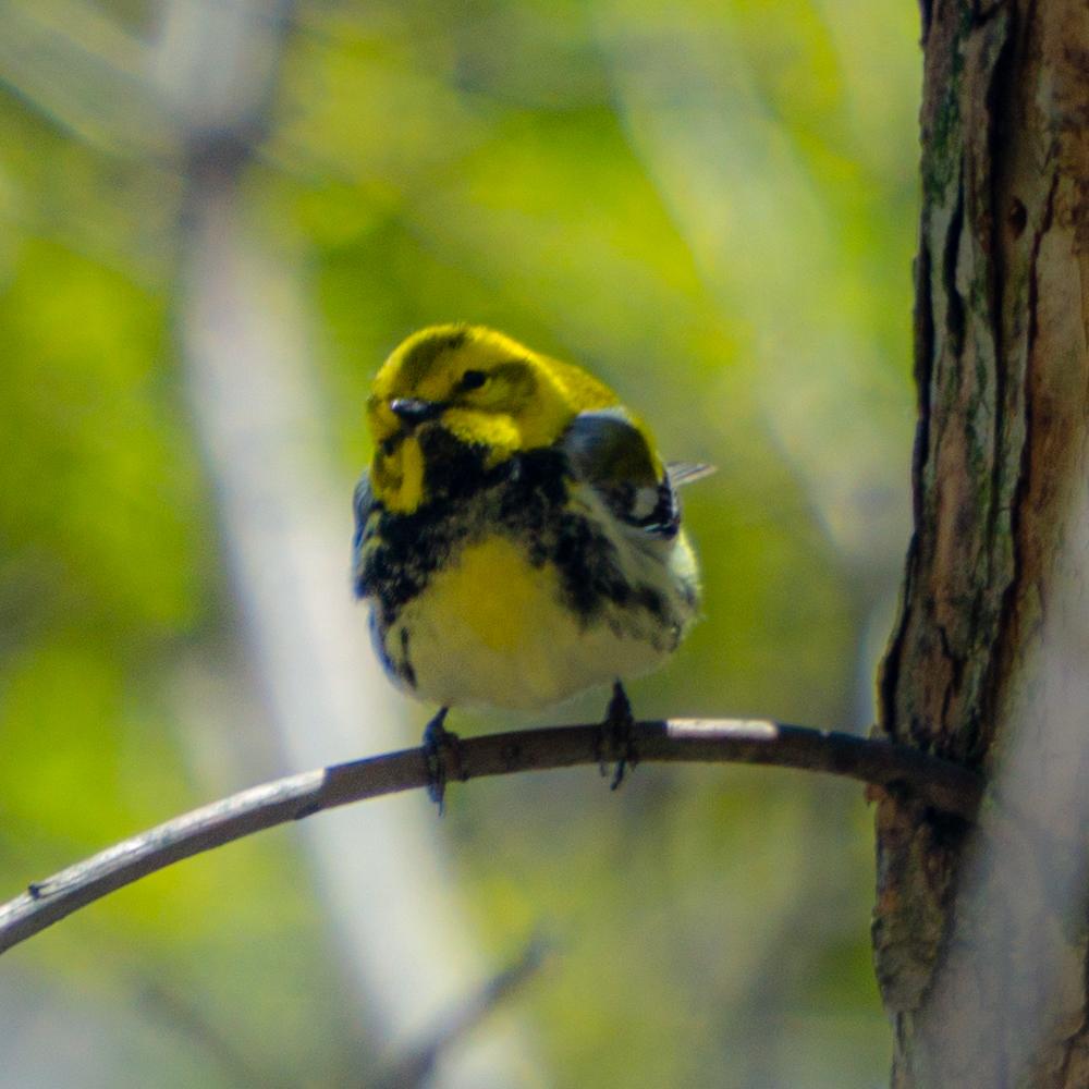 Chicago warbler migration