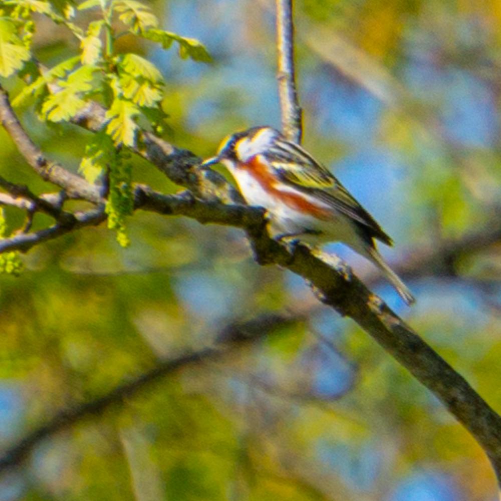 Bird watching Chicago warbler