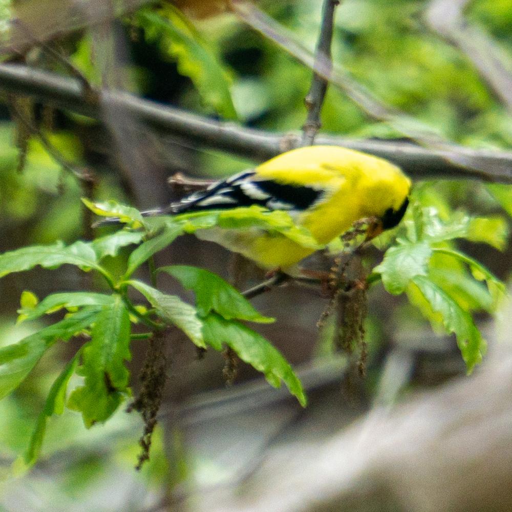Bird watching Chicago American goldfinch
