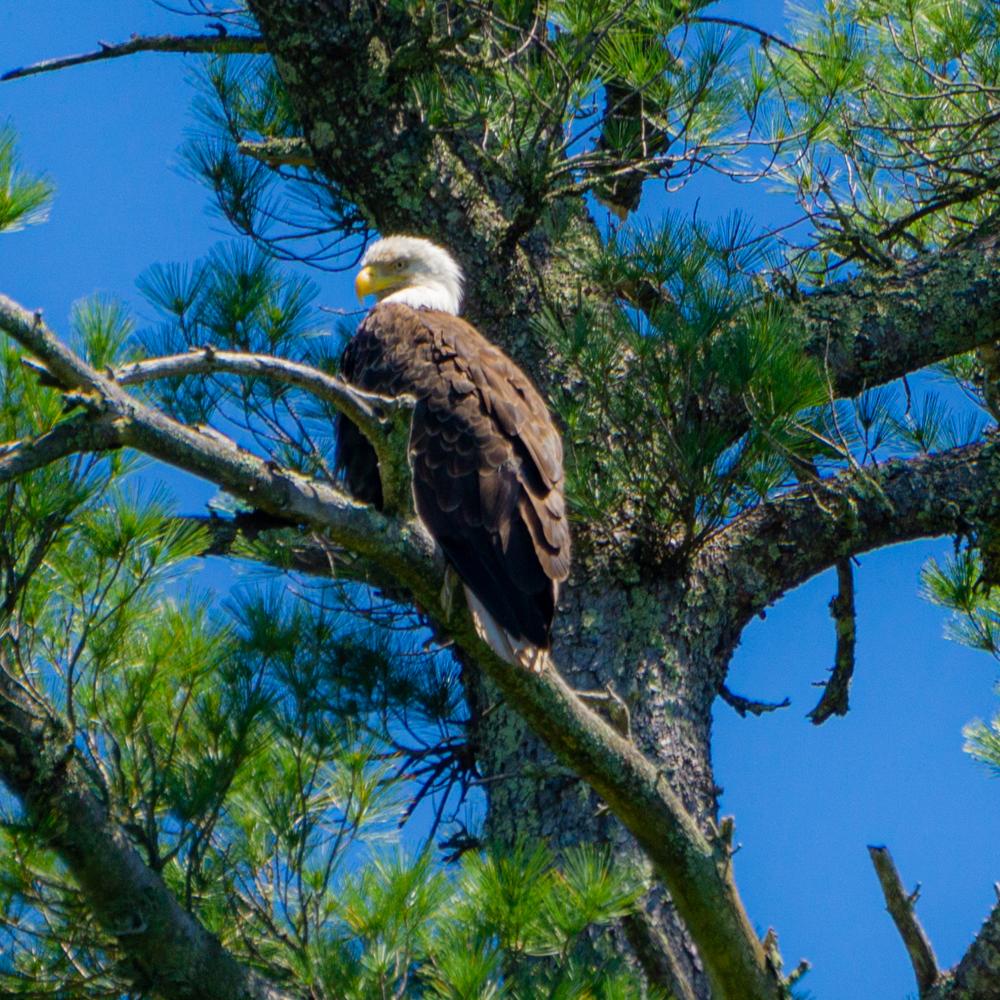 bald eagle Bois Brule River
