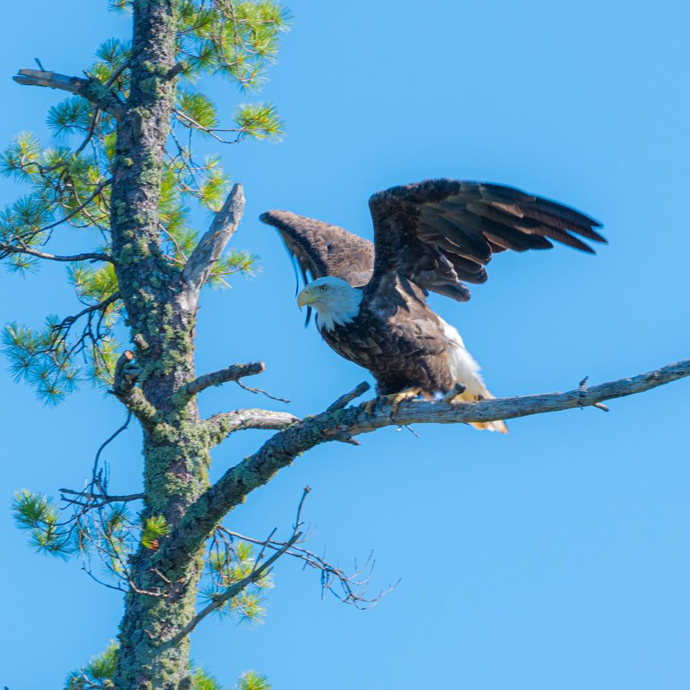 Bald eagle BWCA