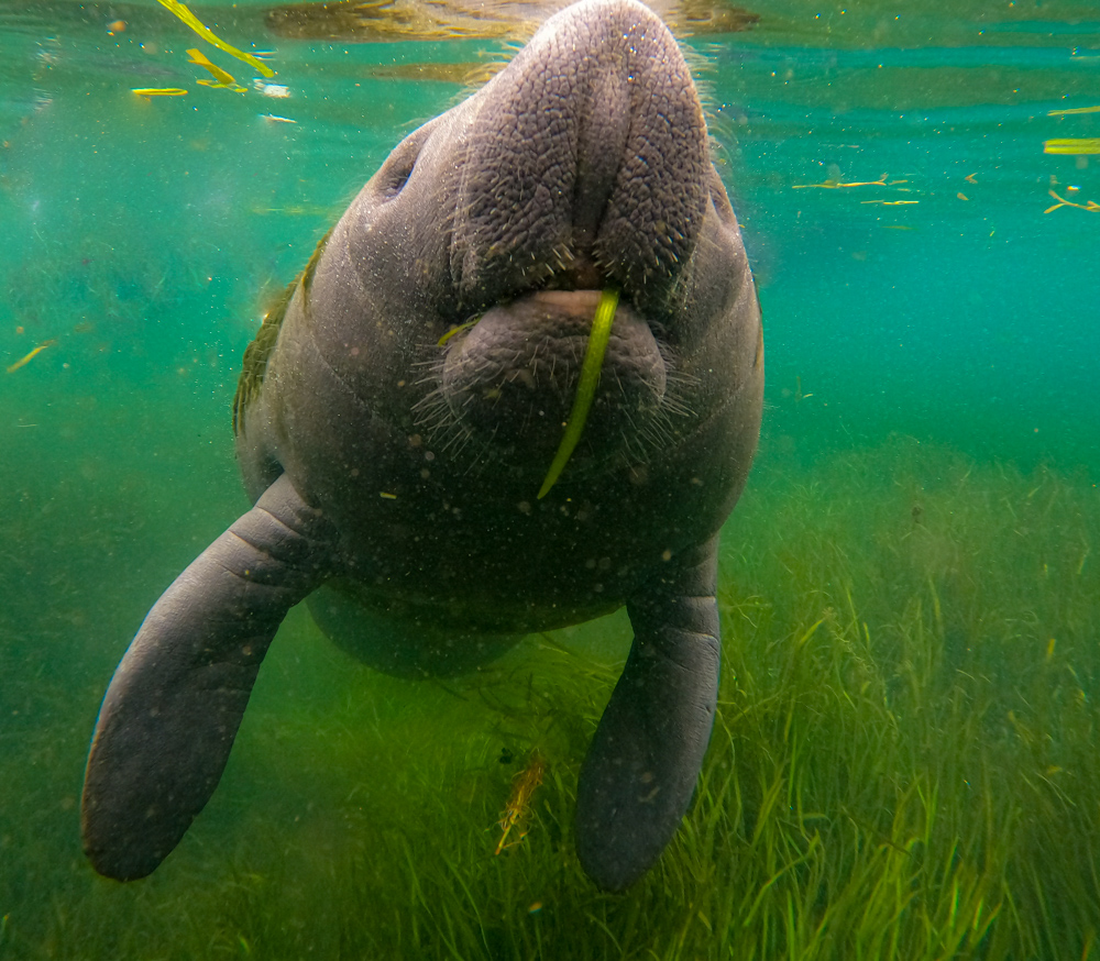 Swim with manatees Crystal River