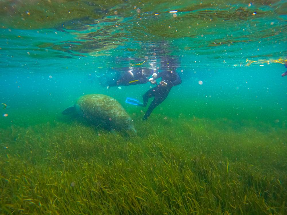 Florida swim with manatees