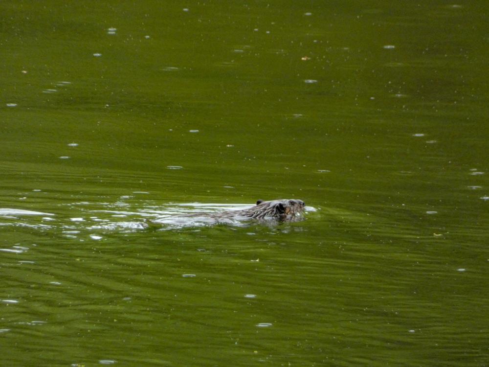 Beaver Ryerson Woods